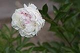 Paeonia lactiflora 'Bossuet' (Pivoine de Chine) - 115.jpg