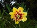 Paeonia lutea 2015-06-20 3162.jpg