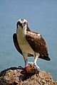 Pandion haliaetus -San Francisco Bay, California, USA -with fish-8.jpg