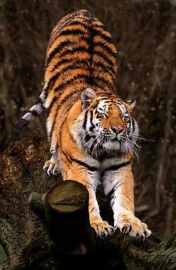 Tiikeri – Wikipedia Bengal Tigers Attacking