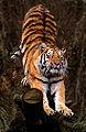 Panthera tigris altaica (Amurtiger straekker sig).jpg