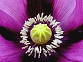 Papaver Somniferum - Flickr - RobertStok.jpg