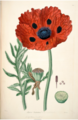 Papaver bracteatum by John Lindley. Lindley, J., Collectanea Botanica; or, Figures and Botanical Illustrations of Rare and Curious Exotic Plants (1821).tif