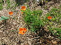 Papaver rhoeas (Kowal garden).jpg