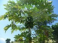 Papaya Ethiopia.jpg