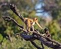 Papión chacma (Papio ursinus), parque nacional de Chobe, Botsuana, 2018-07-28, DD 67.jpg