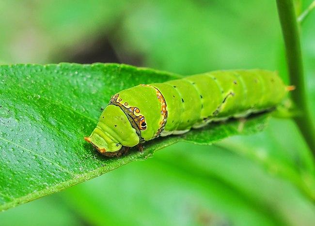 Papilio Polytes 08062012 (6).jpg