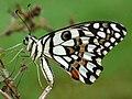 Papilio demoleus at Kudayathoor.jpg