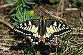 Papilio machaon - Flickr - xulescu g.jpg
