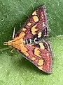 Papillon Pyrausta purpuralis observé à Saint-Maurice-de-Beynost dans l'Ain en juillet 2019 (6).jpg