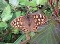 Papillon le Tircis.jpg