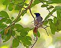 Paradise Flycatcher.jpg