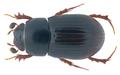 Parammoecius corvinus (Erichson 1848) Syn.- Aphodius (Parammoecius) corvinus Erichson, 1848 (32835185856).png