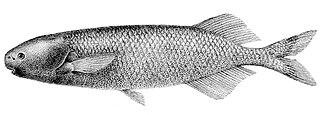 <i>Paramormyrops</i> genus of fishes