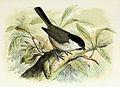 Parus palustris 1873.jpg