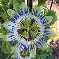 PassifloraCaerulea Bluete von oben.jpg