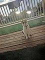 Patches the Cat Enjoying a Porch.jpg