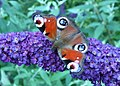 Peacock Butterfly, Inachis io - geograph.org.uk - 934764.jpg