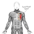 Pectoralis minor-ar.png