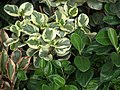 Peperomia from Lalbagh garden 8742.JPG