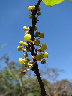 Peraceae