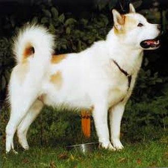 Canadian Eskimo Dog - A Canadian Eskimo Dog