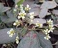 Persicaria chinensis 17.JPG