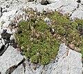 Petrophyton caespitosum ssp caespitosum 1.jpg