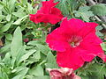 Petunia grandiflora-Sunny brook-yercaud-salem-India.JPG