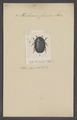 Phalacrus - Print - Iconographia Zoologica - Special Collections University of Amsterdam - UBAINV0274 017 04 0003.tif