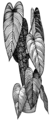 Philodenron (PSF).png