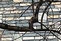 Phoenicurus auroreus (8640648322).jpg