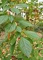 Photinia villosa kz07.jpg