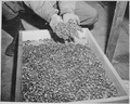 Photograph of Wedding Rings Removed by the Germans from Holocaust Victims - NARA - 531294.tif
