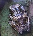 Phrynohyas resinifictrix Rzekotka zabia w oceanarium.jpg