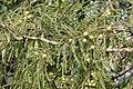 Phyllanthus emblica L. (49546283988).jpg