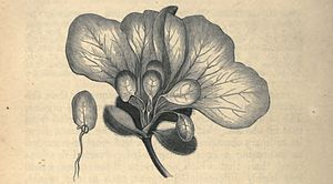 "Phyllody - Illustration from Vegetable Teratology (1869), showing a Petunia flower with stamens partially replaced by ""stalked"" leaves. The stalks are actually the retained filaments of the stamens, while the anthers have been replaced by small leaves."