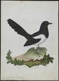 Pica caudata - 1790-1796 - Print - Iconographia Zoologica - Special Collections University of Amsterdam - UBA01 IZ15700183.tif