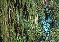 Picea abies (Norway spruce) 4 (39409107272).jpg