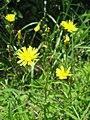 Picris hieracioides subsp. japonica.JPG