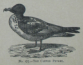 Picture Natural History - No 175 - The Capped Petrel.png
