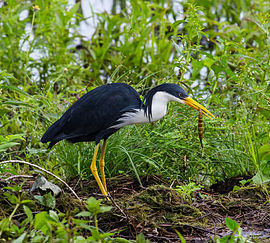 Pied Heron feeding - Fogg Dam - Middle Point - Northern Territory - Australia.jpg