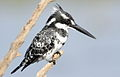 Pied Kingfisher, Ceryle rudis at Pilanesberg National Park, South Africa (15371334933).jpg