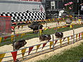 Pig racing at 2008 San Mateo County Fair 8.JPG