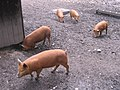 Piglets at Blists Hill - geograph.org.uk - 571039.jpg