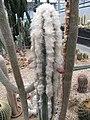 Pilosocereus palmeri (5034681106).jpg