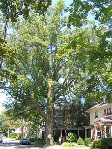 Largest Known Pin Oak In New England Located Northampton Ma 2005 Measurements Height 107 9 Ft Cirference 17 4 Average Spread 96