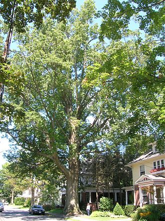 Quercus palustris - Largest known pin oak in New England, located in Northampton, MA. 2005 measurements: Height 107.9 ft, circumference 17.4 ft, average spread 96 ft