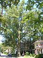 Pin Oak Northampton MA - August 2013.jpg