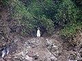 Pinguinos Humbold. en Caleta Piñihuil. Ancud - panoramio (1).jpg